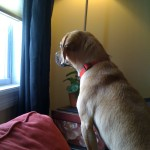 Arthur puggle at window