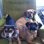 puggle_foster_puppy