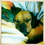 Puggle_wrinkles_cormac