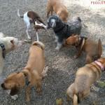 dog_park_puggles_nyc