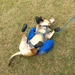puggle blog featured puggle