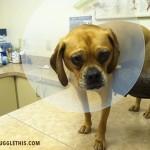 cormac-puggle-leg-injury-1