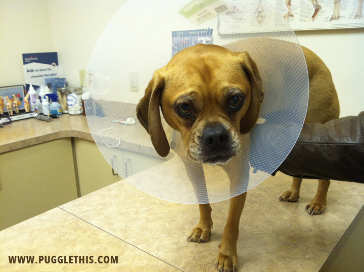 cormac-puggle-leg-injury-1